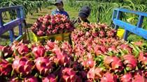Kết nối thanh long Việt Nam với các thị trường xuất khẩu tiềm năng