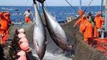 Xuất khẩu cá ngừ tăng trưởng tích cực nhờ những lợi thế trong EVFTA