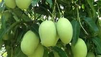 Úc chính thức cấp phép nhập khẩu xoài Việt - Cơ hội lớn tăng xuất khẩu hoa quả Việt v