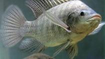 Dự kiến giá cá rô phi của  Trung Quốc sẽ tăng
