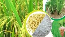 Lúa gạo đi vào chất lượng