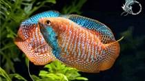 Tăng tốc phát triển cá cảnh xuất khẩu
