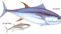 EU - Thị trường lớn của cá ngừ Việt Nam