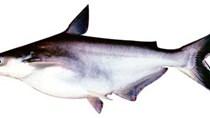 Ngành cá tra mang về gần 1,7 tỷ USD