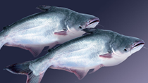 Xuất khẩu cá tra ước đạt 1,66 tỷ USD