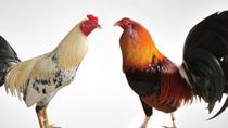 Nỗi lo của các trang trại gà trước dịch cúm gia cầm ở Trung Quốc