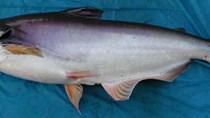 Tỷ trọng thị trường xuất khẩu cá tra đã thay đổi