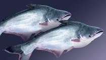 Đồng Tháp: Giá cá tra tăng, cá điêu hồng giảm
