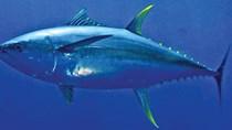Cá ngừ đại dương giá 110.000 đồng/kg, thương lái tranh nhau mua