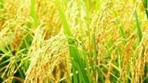 Giá lúa giảm mạnh, nông dân gặp khó