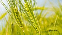 Nhập khẩu lúa mì từ Canada tăng đột biến