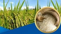 Giá gạo xuất khẩu tuần 8-14/9/2017