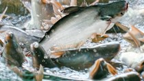 Các nhà xuất khẩu tìm thị trường mới cho cá tra Việt Nam