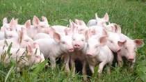 Giá lợn hơi ngày 1/2/2018 tại miền Bắc tăng nhẹ