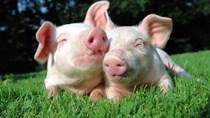 Giá lợn hơi ngày 8/2/2018 tại miền Nam tăng nhẹ