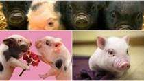 Giá lợn hơi ngày 14/2/2018 ít biến động