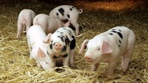Giá lợn hơi ngày 4/4/2018 tăng nhẹ trên cả nước
