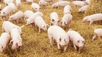 Giá lợn hơi ngày 10/4/2018 tăng mạnh