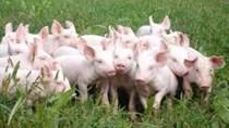 Giá lợn hơi ngày 25/4/2018 tăng ở miền Bắc, giảm ở miền Trung, miền Nam