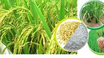 Giá gạo xuất khẩu tuần 28/4 – 3/5/2018