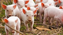 Giá lợn hơi ngày 6/7/2018 tại miền Bắc có nơi lên 53.000 đồng