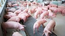Giá lợn hơi ngày 12/7/2018 tại miền Bắc, miền Trung tăng mạnh