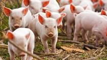 Giá lợn hơi ngày 31/8/2018 giảm nhẹ tại một vài nơi
