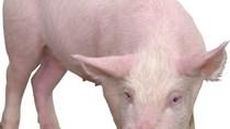 Giá lợn hơi tuần đến 14/10/2018 giảm nhẹ nhưng vẫn ở mức tốt