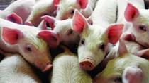 Giá lợn hơi tuần đến 4/11/2018 tiếp tục giảm