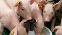 Giá lợn hơi ngày 27/11/2018 giảm trở lại