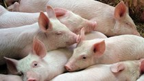 Giá lợn hơi ngày 4/12/2018 giảm tại miền Bắc và miền Trung