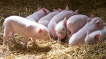 Giá lợn hơi tuần đến 10/3/2019 giảm do dịch ASF tiếp tục lan rộng