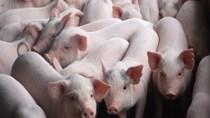 Giá lợn hơi ngày 8/4/2019 tại miền Nam đạt mức cao nhất