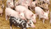 Giá lợn hơi ngày 10/4/2019 vẫn ở mức tương đối tốt