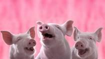 Giá lợn hơi 1/6/2019 tiếp tục đà giảm trong tháng mới