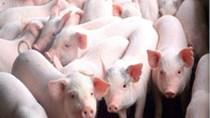 Giá lợn hơi ngày 31/7/2019 tăng nhẹ tại Miền Bắc