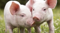 Giá lợn hơi tuần đến 11/8/2019 sôi động trên cả nước
