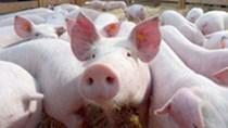 Giá lợn hơi ngày 5/9/2019 điều chỉnh giảm nhẹ