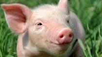Giá lợn hơi ngày 9/9/2019 ổn định ở mức tốt