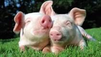 Giá lợn hơi ngày 8/2/2019 ổn định, giá thịt lợn tiếp tục giảm