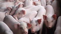 Giá lợn hơi ngày 10/3/2020 vẫn ở mức cao
