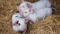 Giá lợn hơi ngày 7/4/2020 giảm nhẹ