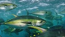 Xuất khẩu cá ngừ vẫn ở mức thấp