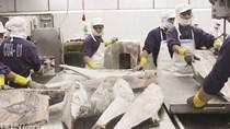 Xuất khẩu cá ngừ khởi sắc nhờ EVFTA