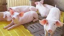 Giá lợn hơi ngày 17/12/2020 tương đối ổn định