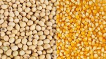 Ảnh hưởng COVID-19, các nước tăng nhập khẩu ngô, đậu tương của Mỹ