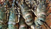 Indonesia đặt mục tiêu chiếm lĩnh 50% thị trường tôm hùm toàn cầu vào năm 2024