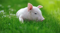 Giá lợn hơi hôm nay 28/5/2021 tại miền Trung cao nhất cả nước