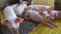Khủng hoảng giá heo khiến ngành chăn nuôi Trung Quốc khốn đốn