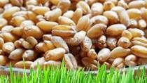 Lúa mì nhập khẩu về Việt Nam 77% có xuất xứ từ Australia